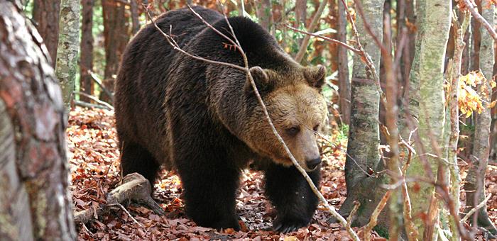 brown bear viewing tor in bulgaria