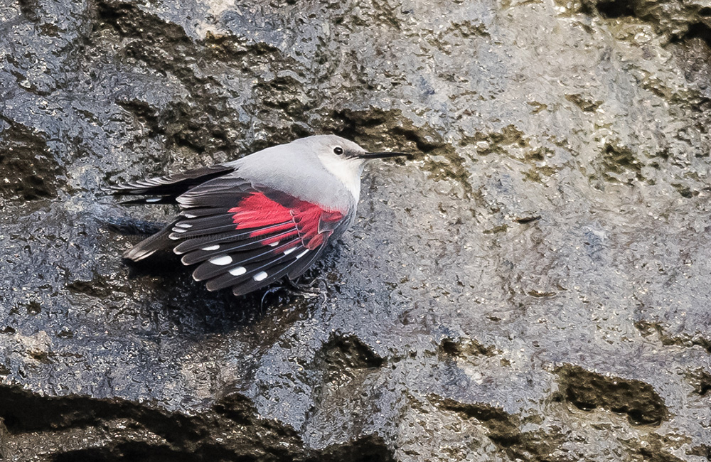 wallcreeper tour bulgaria